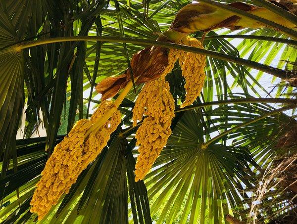 棕榈科 属:棕榈科棕榈属开花时间:4 月中旬结果时间:7 月下旬拍摄地点:丁家桥校区图书馆-东南大学校报电子版