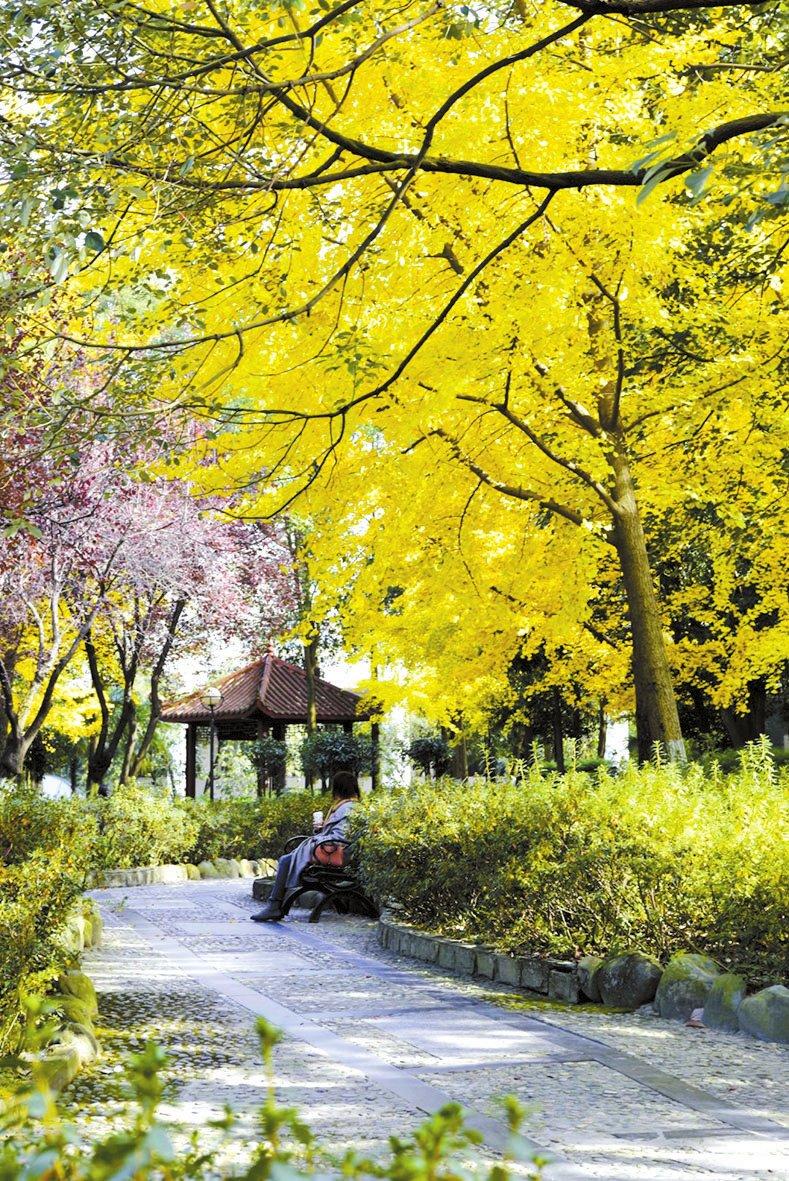狮子山的银杏-四川师范大学校报电子版